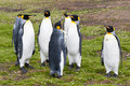King penguins group stay on the green grass Stock Photo