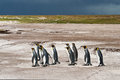 King penguins group stays on the sand beach falkland islands Royalty Free Stock Photography
