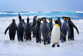 King penguins heading to the water in the falkland islands Stock Photos