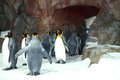 King penguins lining up in captivity to swim the is the second biggest penguin after the emperor Royalty Free Stock Photos