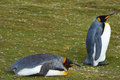 King Penguins Resting - Falkland Islands Royalty Free Stock Photo