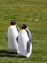 King penguins at volunteer point in the falkland islands Stock Images