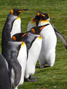 King penguins at volunteer point in the falkland islands Royalty Free Stock Image