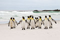 King penguins walking on the beach Royalty Free Stock Photo