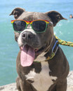 King the pitbull at the beach kuhio hanging kuhio watching swimmers and boogie boarders Stock Photo