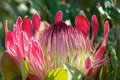 King Protea Royalty Free Stock Photo