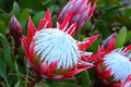 King Protea exotic bloom Royalty Free Stock Photo