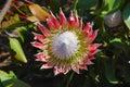 King Protea (Protea cynaroides) Royalty Free Stock Image