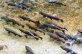 King Salmon Spawning Royalty Free Stock Photo