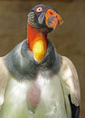 King vulture colorful scavenger bird close up portrait Royalty Free Stock Photography