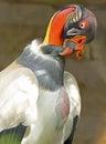 King vulture colorful scavenger bird close up portrait Stock Image