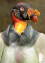 King vulture colorful scavenger bird close up portrait Stock Photos