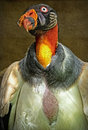 King vulture colorful scavenger bird close up portrait Royalty Free Stock Image