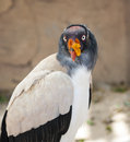 King vulture portrait of a grayish white and black Stock Photography