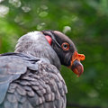 King vulture portret this is a in close up Royalty Free Stock Image