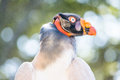 King Vulture Profile Royalty Free Stock Photo
