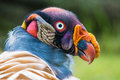 King vulture sarcoramphus papa closeup portrait of a Stock Images