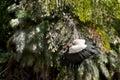 King Vulture (Sarcoramphus papa) Royalty Free Stock Photo
