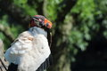 King vulture sarcoramphus papa resting on trunk Stock Image