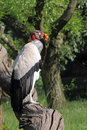 King vulture sarcoramphus papa sitting on the branch Royalty Free Stock Photos