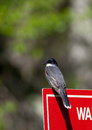 Kingbird eastern tyrannus tyrannus perched on a sign Stock Photos