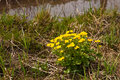 Kingcup or Marsh Marigold Royalty Free Stock Photography