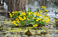 Kingcup or marsh marigold caltha palustris Royalty Free Stock Photo
