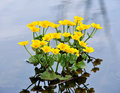 Kingcup or marsh marigold caltha palustris Royalty Free Stock Photography
