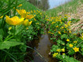 Kingcups in meadow stream caltha palustris Royalty Free Stock Image