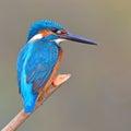 Kingfisher (Alcedo athis) Royalty Free Stock Photo