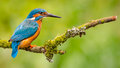 Kingfisher Alcedo Atthis Royalty Free Stock Photo
