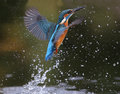 Kingfisher alcedo atthis diving for fish Royalty Free Stock Photo