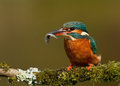 Kingfisher alcedo atthis female with a catch on a perch uk Stock Photography