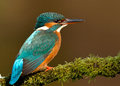 Kingfisher alcedo atthis female on a mossy perch uk Stock Images