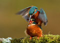 Kingfisher alcedo atthis kingfishers mating on a perch uk Royalty Free Stock Photos