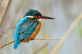 Kingfisher alcedo atthis in natural habitat Stock Image