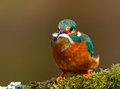 Kingfisher alcedo atthis on a perch with a fish uk Royalty Free Stock Photo