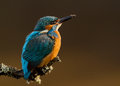 Kingfisher alcedo atthis on a perch uk Royalty Free Stock Images
