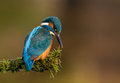 Kingfisher alcedo atthis on a perch uk Royalty Free Stock Photos