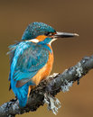 Kingfisher alcedo atthis on a perch uk Stock Photo