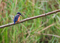 Kingfisher - Alcedo atthis - Perching Royalty Free Stock Photos