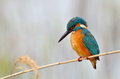 Kingfisher alcedo atthis sitting on straw Royalty Free Stock Images