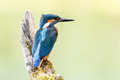 Kingfisher bird on branch Royalty Free Stock Photo