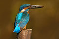 Kingfisher. Bird Common Kingfisher with fish in bill. Beautiful orange and blue bird sitting on the tree trunk. Bird with fish in Royalty Free Stock Photo