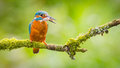 Kingfisher bird with fish Royalty Free Stock Photo