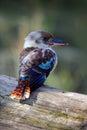 Kingfisher Blue-winged kookaburra, Dacelo leachii, Australia Royalty Free Stock Photo