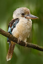 Kingfisher Blue-winged kookaburra, Dacelo leachii, Australia. Bird near the river. Kingfisher in the nature water grass habitat. B Royalty Free Stock Photo