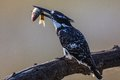 Kingfisher catch pied with small fish on tree branch Stock Photography
