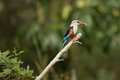 Kingfisher Catches Insect In Ngorogoro Royalty Free Stock Images