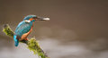 Kingfisher with Fish Stock Images